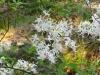 2011-0414-native-azalea