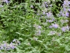 2011-0516-catmint