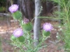 2011-0902-thistle-cropped