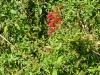 2011-0911-cardinal-flower