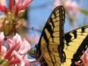 butterly-on-native-azalea-20110407_wm