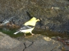 2014-0831-goldfinch-algae-4
