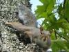 P1260175-2015-0906-squirrel-looking-2187x1640.jpg