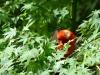 2013-0505-scarlet-tanager-1-c