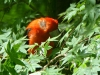 2013-0505-scarlet-tanager-2